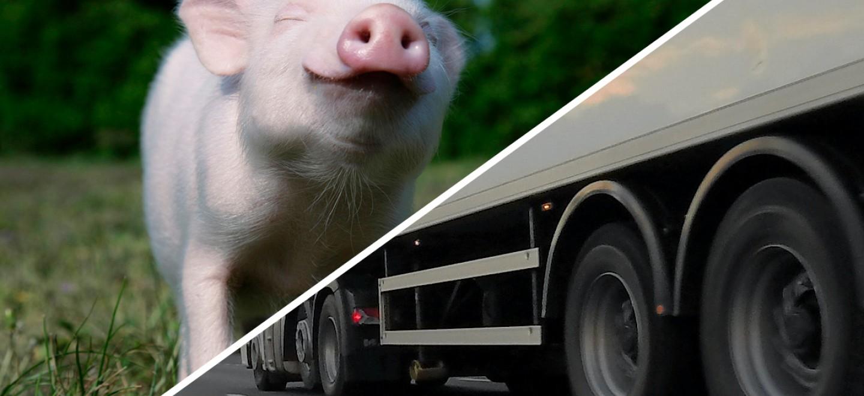 glückliches Schweinchen und Transprter
